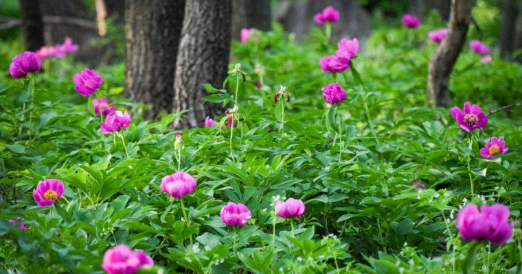 Virágzik a bánáti bazsarózsa
